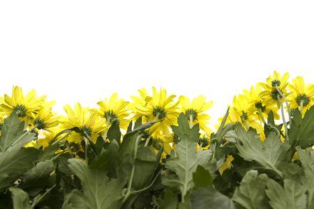 marguerites: Big, yellow marguerites on a white background Stock Photo
