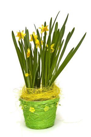 buch: Buch of fresh yellow daffodils on white Stock Photo