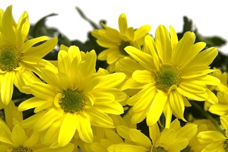 Big, yellow marguerites on a white background Stock Photo - 2996546