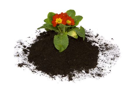 primula: Springtime. Colorful primula and soil on a white. Stock Photo