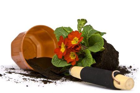 primula: Springtime. Gardening tools, colorful primula and soil. Stock Photo