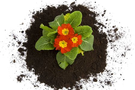 Springtime. Colorful primula and soil on a white  photo
