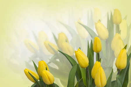 yellow flower: Yellow tulips background with free space for text