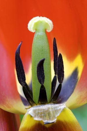 eacute: Red tulip - closeup of the pistil and stamens of a tulip
