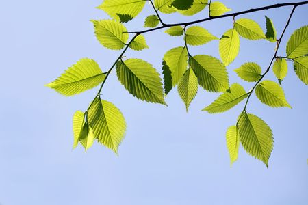 Elm branch against blue sky, with copy-space