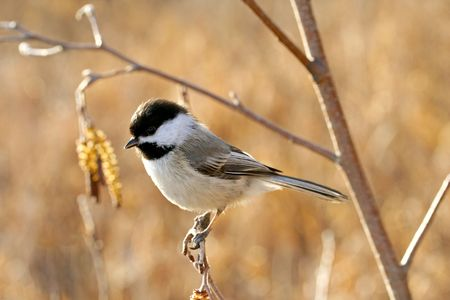 Black-capped chickadee perching on a twig in fall photo