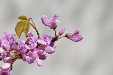 redbud: Redbud, also known as Chinese Redbud or Cercis chinensis