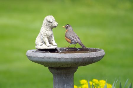 Curious American robin perched on a birdbath