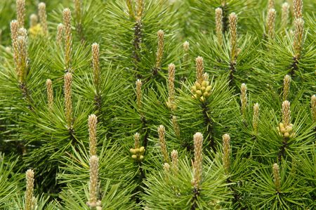 mugo: Mountain pine in spring with male cones Stock Photo