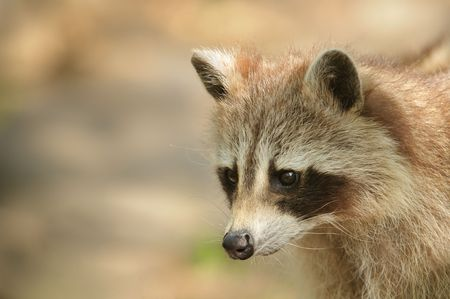 copy space: Raccoon portrait with copy space Stock Photo