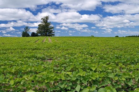 soybeans in a large field with a tree