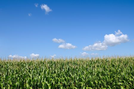 Corn field over blue sky with copy space