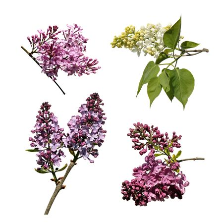 Four different lilac twigs on white background