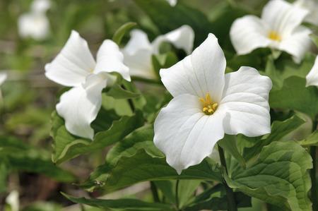 White trillium in forest