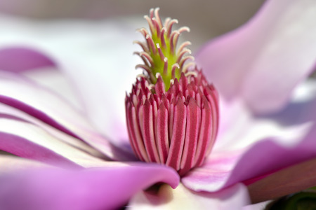 pink magnolia with large flowers  photo