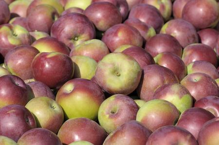 apples macintosh fraichement picked Stock Photo