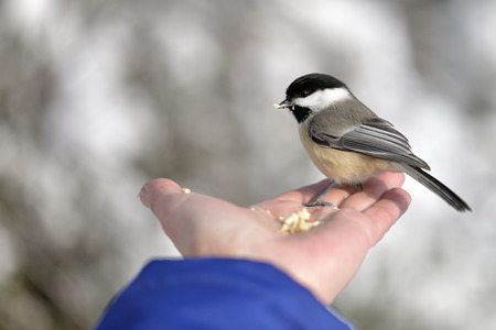 The Black-capped Chickadee in Winter photo