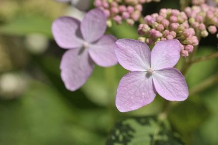 Tricolor Hydrangea macrophylla in bloom photo