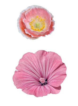 Papaver and malva isolated on white background photo