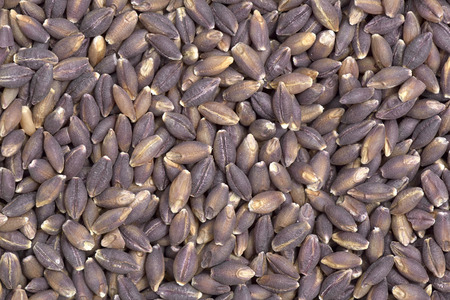pearl barley: Close-up of pearl purple barley seeds  to use as background