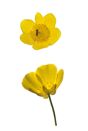 buttercup: Yellow marsh marigold and buttercup isolated on white Stock Photo