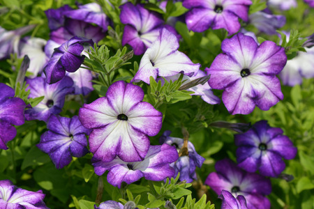 petunia: Close Up of Surfinia  full bloom in spring Stock Photo