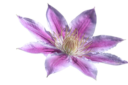 Close-up of pink clematis isolated on white background photo
