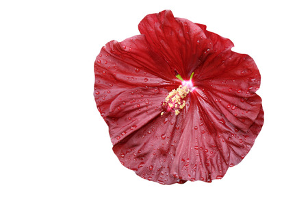Close-up of  isolated  hibiscus moscheutos on white background Stock Photo