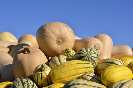 Pile of pumpkins and squashes freshly harvested