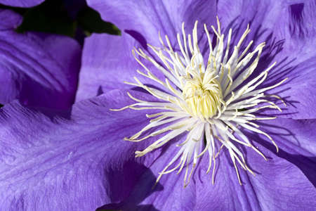 clematis flower: Close up of the of a purple clematis flower  Stock Photo