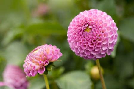 pompom: Pompon viola dalia fiori in un giardino