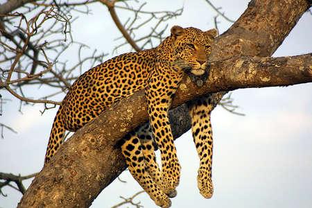 Lazy Lounging Leopard photo