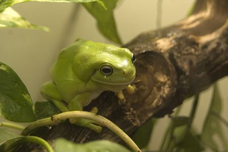 frog on lily pad: Australian green tree frog captured in its habitat Stock Photo