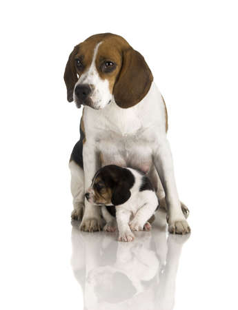 beagle puppy: Picture of a Beagle mom protecting is son