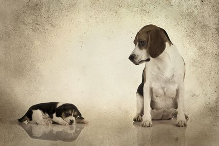 added: A beagle mom after is pregnancy looking to her puppy (Grunge background added) Stock Photo