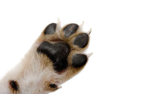 animal paw prints: Close-up picture of dog paw - great footprints