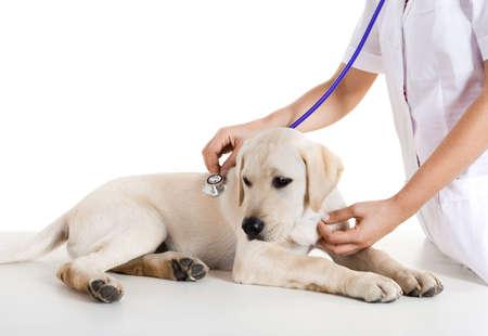 veterinaria: Toma de veterinario femenina joven cuidado de un hermoso perro labrador
