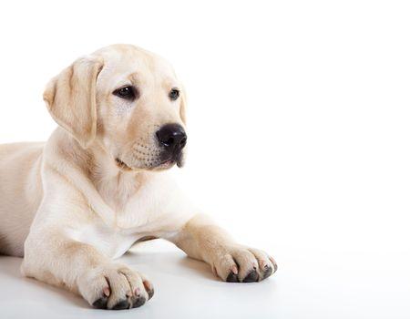 perro labrador: Retrato de estudio de una raza de perro labrador hermosa y sexy  Foto de archivo