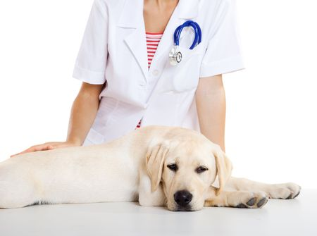 Young female veterinary taking care of a beautiful labrador dog Stock Photo - 6139401