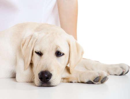dog health: Ritratto di close-up di un cane labrador un volto malato