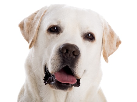 yellow lab: close-yp portrait of a beautiful labrador retriever breed, isolated on white background Stock Photo