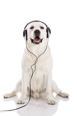 Labrador retriever listen music with headphones photo