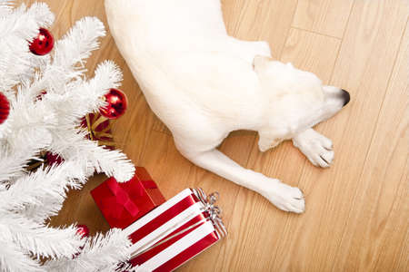 dog christmas: Beautiful Labrador retriever on Christmas day lying on the floor