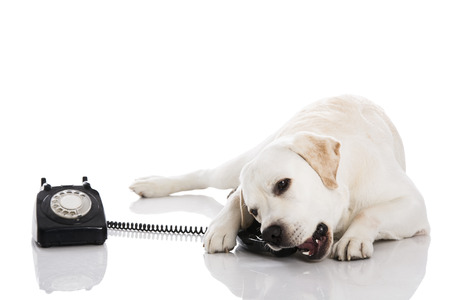 retro phone: Beautiful labrador dog talking using a phone Stock Photo