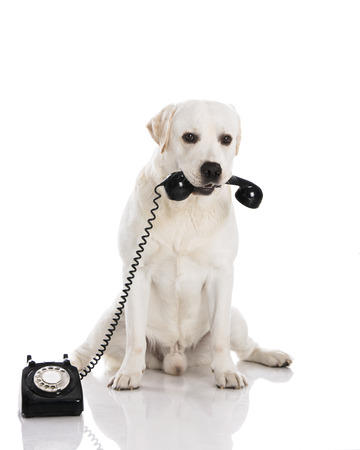 pet services: Beautiful labrador dog holdiing a phone