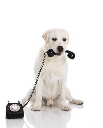 waiting phone call: Beautiful labrador dog holdiing a phone