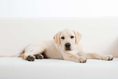 perro labrador: Retrato de estudio de una raza de perro labrador lindo y hermoso