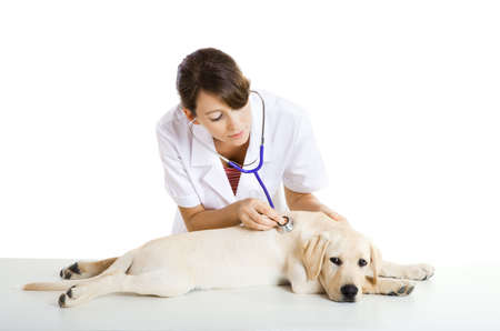 veterinary care: Young female veterinary taking care of a beautiful labrador dog