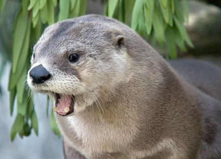 california delta: North American River Otter (Lontra canadensis) in mid-yawn. Stock Photo