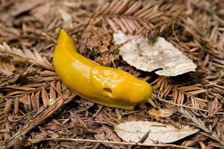 hermaphrodite: A Pacific Banana Slug (Ariolimax columbianus) makes it way along the redwood forest floor in the Santa Cruz Mountains of Northern California. Stock Photo